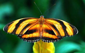 ---orange-black-butterfly-452