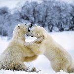 ---polar-bear-11287