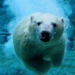 ---polar-bear-11289