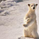 ---polar-bear-baby-5244