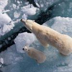 ---polar-bears-1352