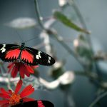 ---red-black-butterfly-11521