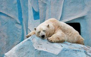 ---sleeping-polar-bear-11937