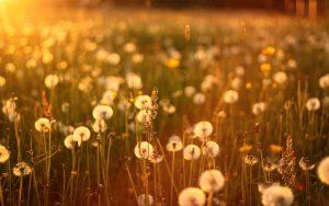 ---sunset-dandelions-field-nature-12298