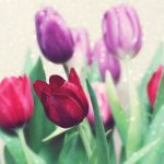 ---beautiful-tulips-flowers-7159