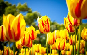 ---beautiful-tulips-garden-7161