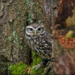 ---bird-little-owl-7253