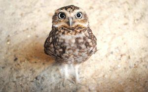 ---cute-owl-wallpaper-14358
