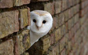 ---desktop-backgrounds-owls-free-8321