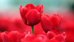 ---early-tulips-8488