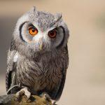 ---eurasian-scops-owl-8574
