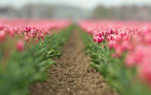 ---field-flowers-tulips-pink-8746