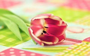 ---flower-tulip-photo-close-up-14808