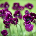 ---flowers-mauve-tulips-nature-14819