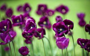 ---flowers-mauve-tulips-nature-14819