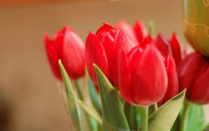 ---flowers-red-tulips-8830