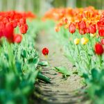 ---flowers-tulips-green-leaves-nature-8831