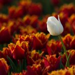 ---flowers-tulips-one-white-amazing-8832