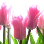 ---fresh-tulips-3864