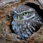 ---hollow-tree-trunk-bird-owl-15308