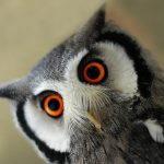 ---look-owl-bird-10239