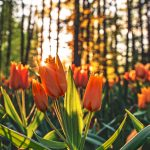 orange-tulips-2880x1800-sunrise-morning-4k-4499