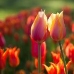 ---orange-tulips-summer-11035