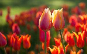 ---orange-tulips-summer-11035