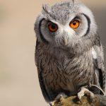 ---owl-16119