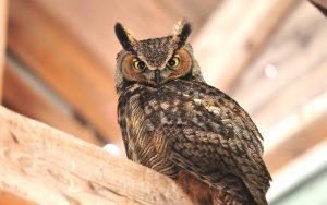 ---owl-bird-11054