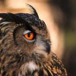 ---owl-orange-eyes-11057