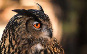 ---owl-orange-eyes-11057