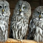 ---owls-birds-close-up-11066