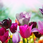 ---pink-purple-tulips-11240