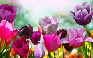 ---pink-purple-tulips-11240