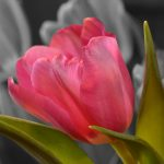 pink-tulip-2560x1600-hd-4k-2402