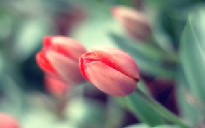 ---pink-tulip-buds-11242