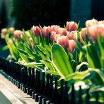 ---pink-tulip-garden-11243