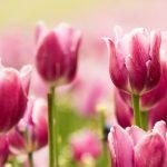 pink-tulips-2560x1600-hd-tulips-2370