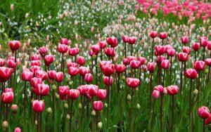 pink-tulips-2880x1800-flora-blossom-hd-5k-3921