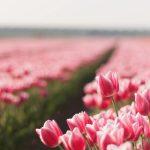 ---pink-tulips-field-5206