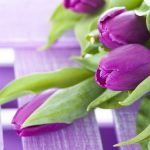 ---purple-tulip-hd-11427