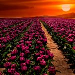 purple-tulips-2880x1800-sunset-garden-hd-5512