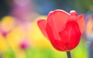 ---red-tulip-16410