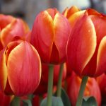 red-tulips-2880x1800-hd-5k-3530