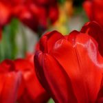 red-tulips-2880x1800-spring-macro-hd-4k-2267