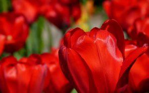 red-tulips-2880x1800-spring-macro-hd-4k-2267