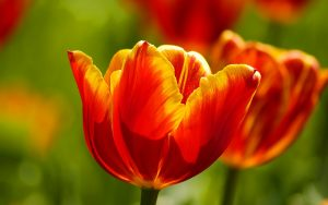 ---red-tulips-wallpaper-11576
