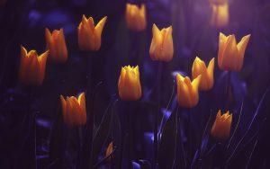 ---shining-yellow-tulips-16603