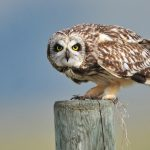---short-eared-owl-bird-552